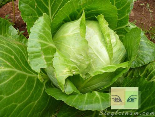 Bắp cải- 9 thực phẩm quen thuộc giúp giải độc cơ thể